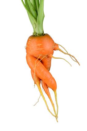 krumm gewachsene Karotten porträtiert